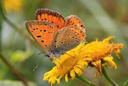 Le Cuivré des marais (Lycaena dispar), classé « En danger »