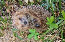 Un recensement national des hérissons est lancé par France Nature Environnement. crédit photo FNE 25-90